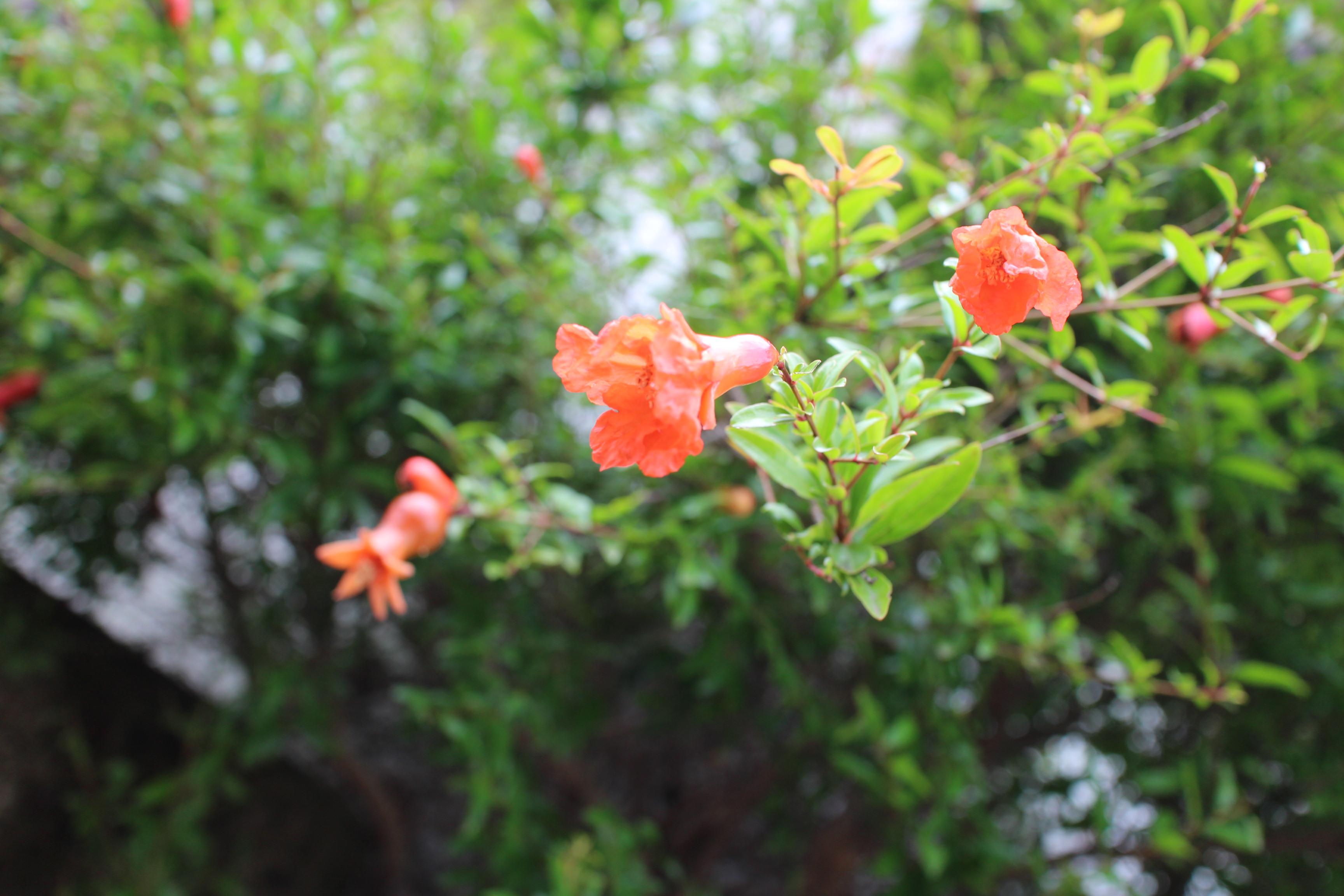薬膳:ザクロの花